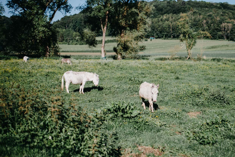 Esel auf einer Wiese