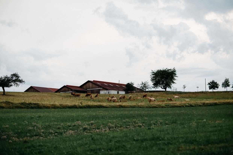 Kuhweide mit Kühen